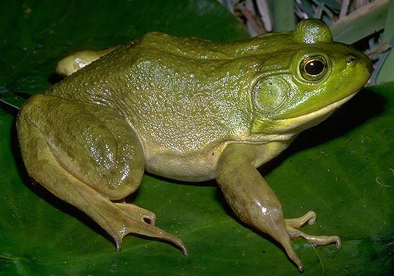 Bullfrog season opens May 20