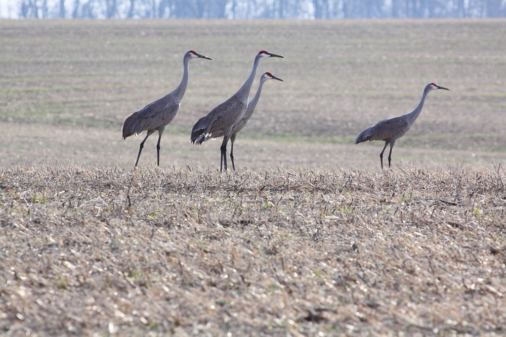 Sandhill Crane season Set