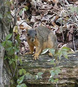 Squirrel season opens