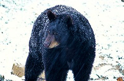 State's third annual black bear hunt begins Dec.10 in three Eastern Kentucky counties