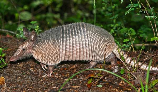 Nine-banded armadillo expanding its range into Kentucky