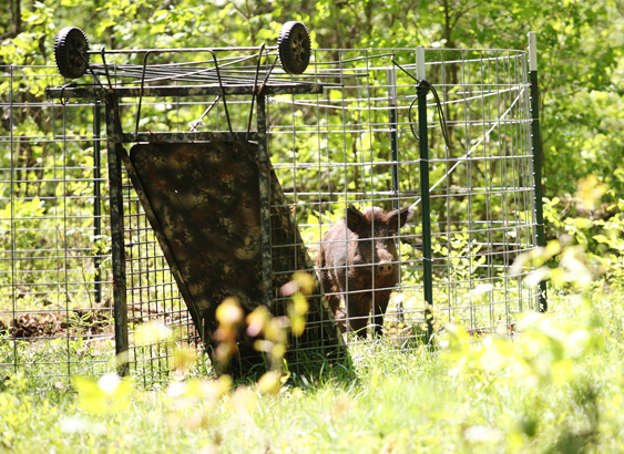Trapping is the most effective way to control wild pigs
