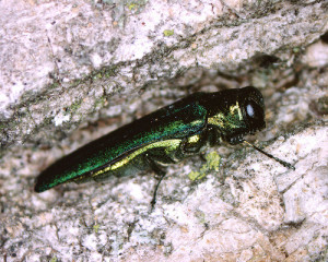 Emerald ash borer kills ash trees as it spreads across the state