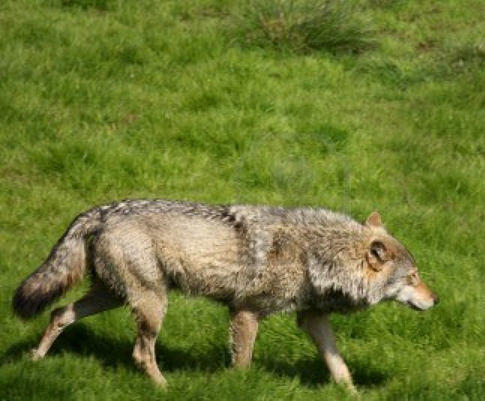 Federal officials confirm gray wolf taken in Kentucky