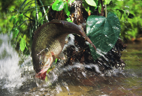 """Spring bass attack."" (Photo courtesy of Soc Clay, an award winning photo journalist)"