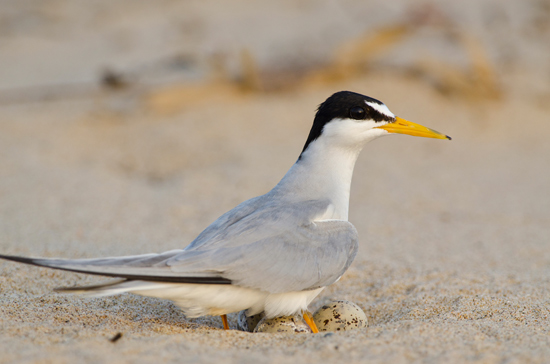 Least terns nesting in the Mississippi, lower Ohio rivers; be careful around nests