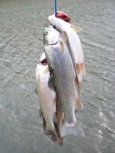 Cedar Creek Lake receives 12,000 rainbow trout