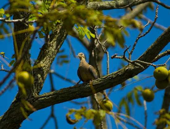 Doves often alight in trees, such as this walnut, before descending to the field to feed. Dove season opens statewide Sept. 1. The bountiful rains this summer nurtured excellent field conditions which should mean productive hunting for the upcoming dove season.