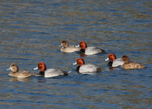 Waterfowl seasons open on Thanksgiving Day, Nov. 26. Duck populations are at record highs which should lead to outstanding hunting for the 2015-2016 waterfowl seasons. The number of redheads, like those in this photo from a lake in Franklin County, number about 1.2 million birds.