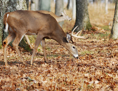 Kentucky deer hunters surpassed 150,000 deer harvested for the first time ever this season with the free youth weekend on Dec. 26-27, crossbow season until Dec. 31 and archery season until Jan. 18 still remaining. Kentucky hunters set the previous record with 144,409 deer harvested during the 2013-2014 deer seasons. They also set monthly harvest records this past September, October and November.