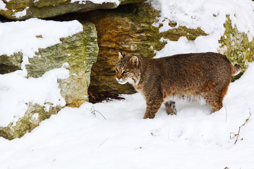 Snow opens windows into the world of wildlife