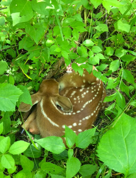 Young deer fawns often look abandoned by their mothers in June, but this part of the natural rearing process. The best approach when finding young wildlife at this time of year is to leave them alone.