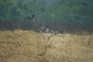 Dove season opens Sept. 1. The excellent growing conditions over the summer produced bountiful dove fields statewide. The flourishing fields along with good dove reproduction this year portend good dove hunting for the upcoming season.