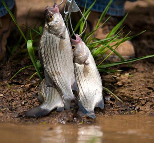 White bass spawning runs just around the corner