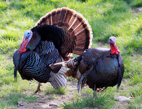 Spring wild turkey season preview