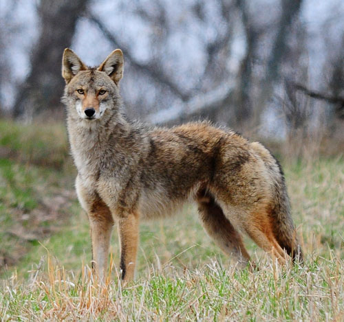Coyotes coexist in the urban landscape