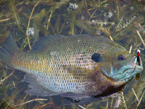 Bluegill Offer Great Late Spring Fishing
